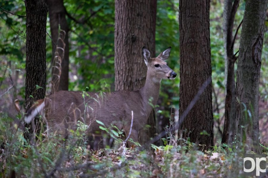 Number of deer crashes in Rochester Hills goes down, but OU still affected