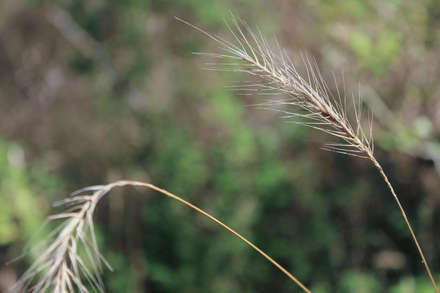 Phragmites, a non-native species of grass, will soon be removed from OU's Biological Preserves.