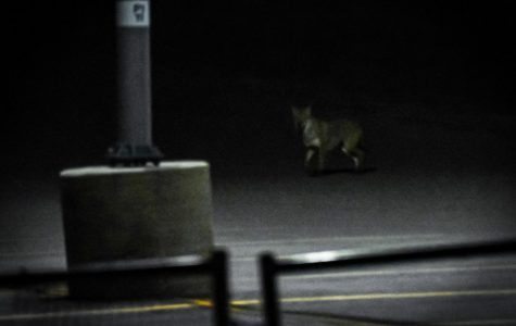 Campus coyotes: What we know and what we don't
