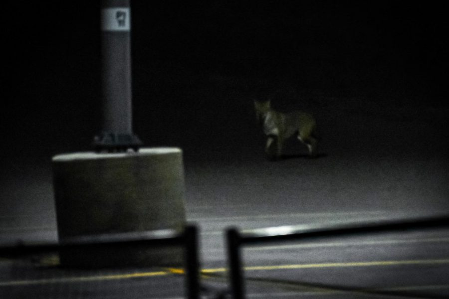 A coyote is spotted on Oakland University's campus.