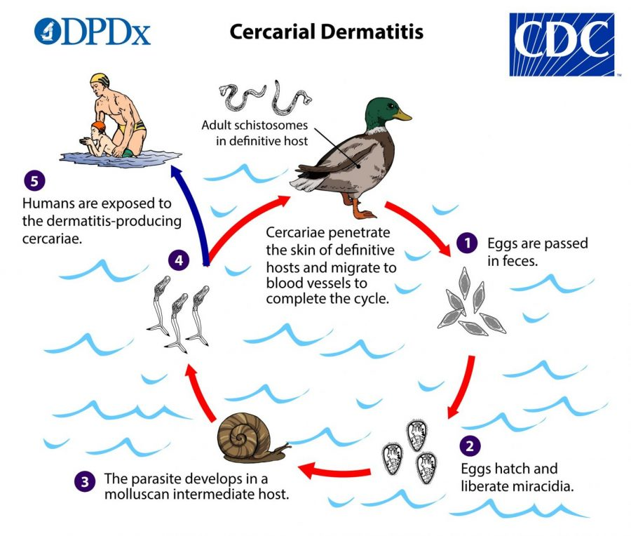 The CDC graphic for the cycle of Swimmers Itch.